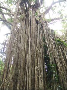 Curtain Fig Tree - looking up