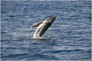 whale watching | WorldMark South Pacific Club by Wyndham