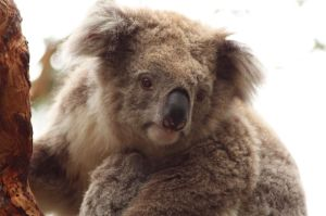 Koala in Phillip Island | WorldMark South Pacific Club by Wyndham