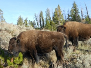 Bison herds at Yellowstone National Park