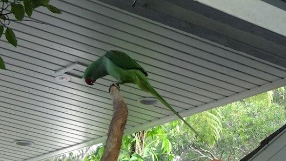 Ramada Port Douglas mascot - Skittles the Alexandrine Parrot