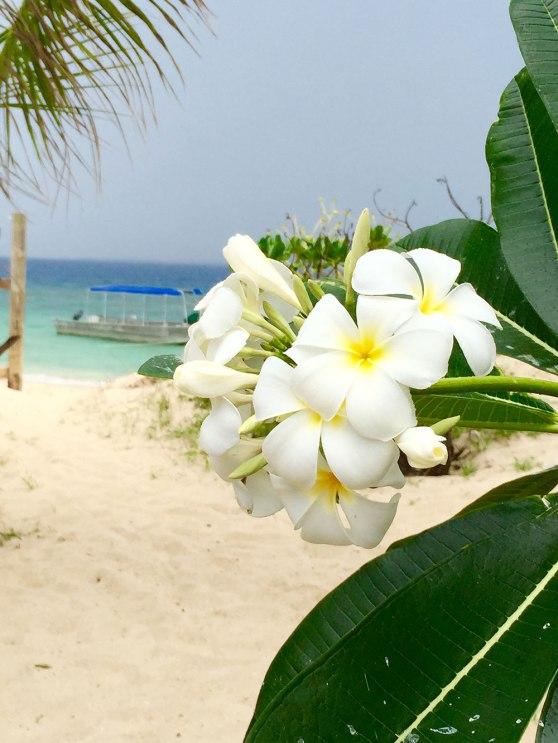 Frangipanis in Fiji