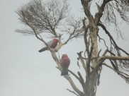 Galahs at Ramada Phillip Island wetlands