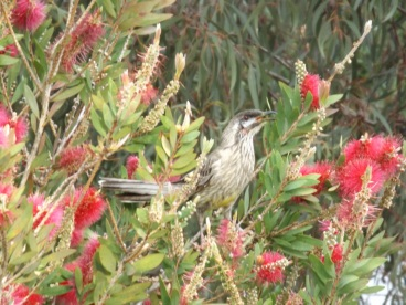 Birds at Ramada Phillip Island