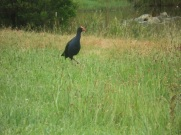 Swamphen at Ramada Phillip Island wetlands