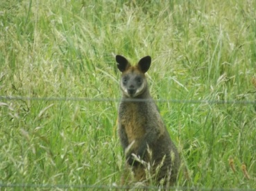 Curious wallaby at Ramada Phillip Island