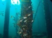 Busselton Jetty underwater dive, Margaret River, Western Australia