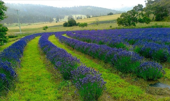 Pawleena lavender farm, Tasmania