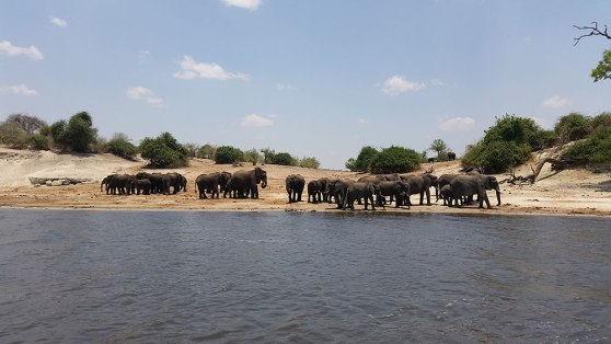 Elephants at Chobe National Park, South Africa