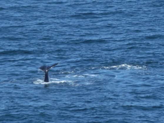 Whales- Tasman Sea